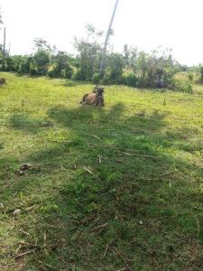 Haiti Wiederaufbau Kuh auf Weide